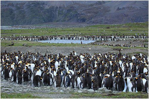 Georgias del Sur, un remoto archipiélago con una biodiversidad única en el planeta | Estas islas australes cuentan con el  90 % de los lobos marinos del mundo, la mitad de los elefantes marinos del mundo, y también alberga vastas poblaciones de ballenas azules, cachalotes, orcas y pingüinos. En total, se registran en todo el archipiélago cerca de 1.500 especies, muchas de las cuales son únicas del lugar.