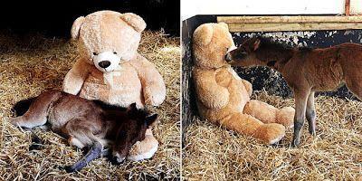 Kisah mengharukan ini benar-benar terjadi di Dartmoor National Park. Dilansir dari situs Dailymail.co.uk, seekor anak kuda bernama Breeze yang baru lahir kehilangan ibunya. Sebagai bayi mamalia, anak kuda ini membutuhkan kehadiran ibunya untuk memberi perlindungan dan kasih sayang, tetapi dia sudah tidak memiliki ibu. Tim medis khusus hewan menemukan Breeze yang baru lahir tidak sadarkan diri karena dehidrasi setelah seorang diri mencari ibunya.