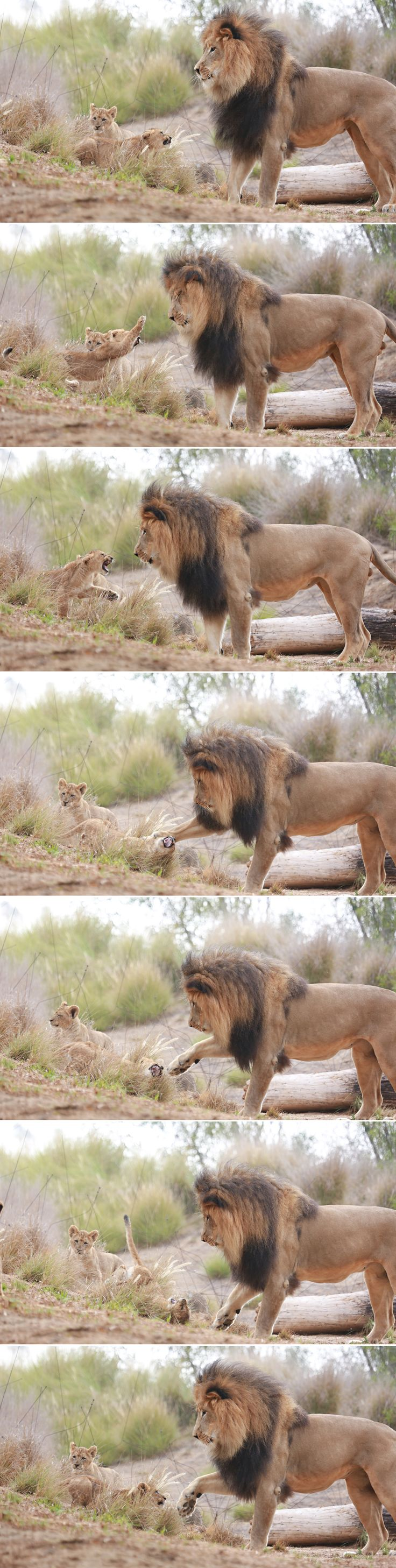 Lion Dad vs. Daughter. Izu's cubs are fearless. Photos by Angie Bell