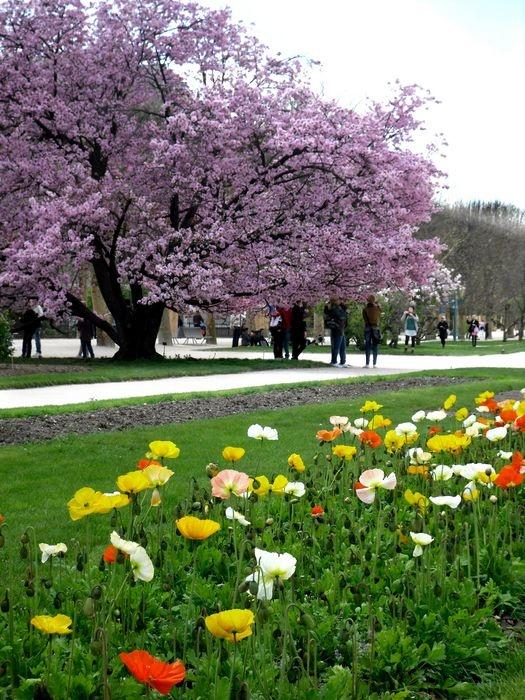 Cerezo japonés. Jardin des Plantes. Paris.