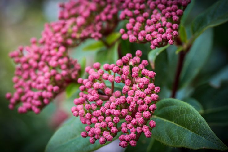 Viburnum 'Anvi' • Hedging - space 75cm apart • Screening • General garden use - back of a border • Foliage and berries are suitable for floral arrangements • Low maintenance areas - both residential and commercial