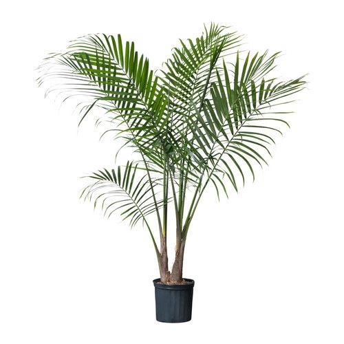 2x 8' potted palms Home Depot M/W/F deliveries: $70 total