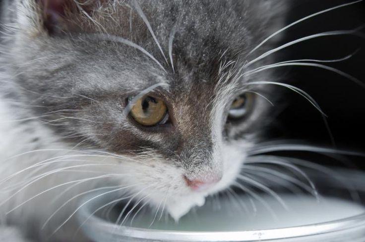 Displasia de cadera en gatos: Síntomas y tratamiento