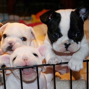 Aw these French bulldog puppies are adorable :)