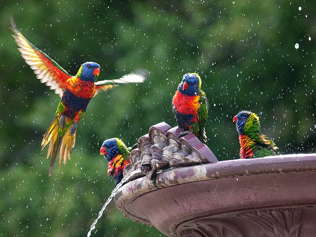 Rainbow Lorikeet's enjoy an early morning bath at the Adelaide Botanic Gardens By Julian Kaesler