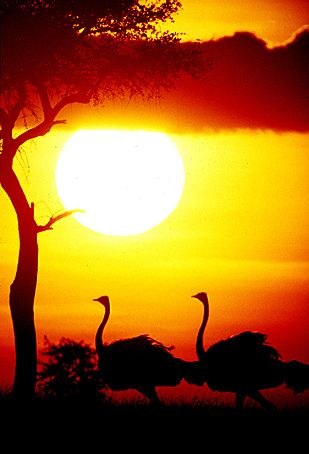 Ostriches at sunset by Fernando Quevedo (SERENGETIMAN) on Flickr  #sunset  #nature #photography