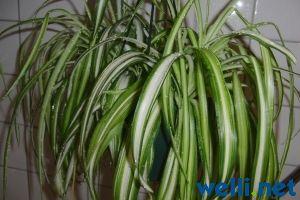 Grünlilie - Chlorophytum