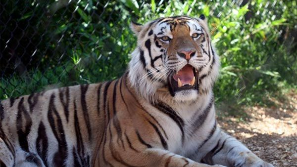A memorial service will be held for LSU's live tiger mascot, Mike VI, who passed away Tuesday, Oct. 11.