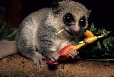 fat tailed dwarf lemur primates o plenty pinterest lemurs