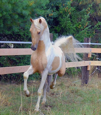 Palomino Pinto American Saddlebred