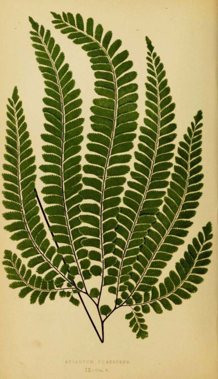 design-is-fine:  Edward Joseph Lowe,Ferns: British and exotic 1856-60. London. Complete book:BioDivLib. Or viaflickr