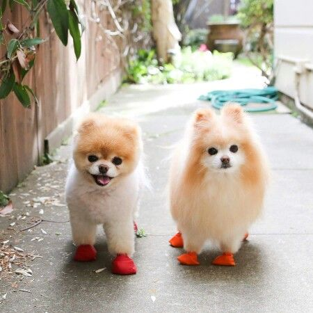 Boo and Buddy in their rain shoes