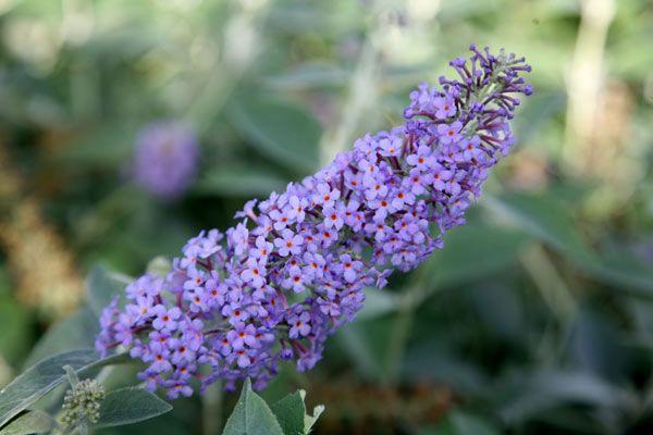 Fragrant violet-blue flowers all summer