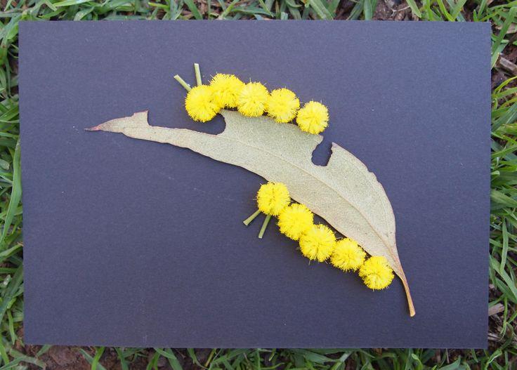 Wattle caterpillars nibbling on a gumleaf