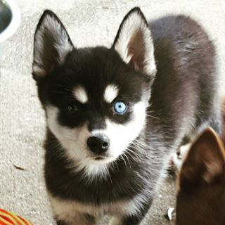 Sometimes they'll even have different-colored eyes. | 17 Reasons Alaskan Klee Kai Are The Absolute Cutest