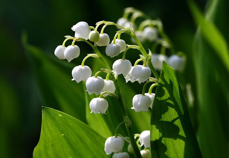 May Birth Flower: Lily of The Valley - ProFlowers Blog