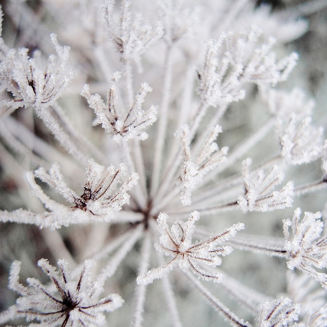 hogweed stars by the incredible how (intermitten.t), via Flickr