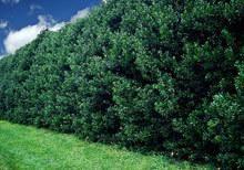 Nellie Stevens Holly on Fast Growing Trees Nursery