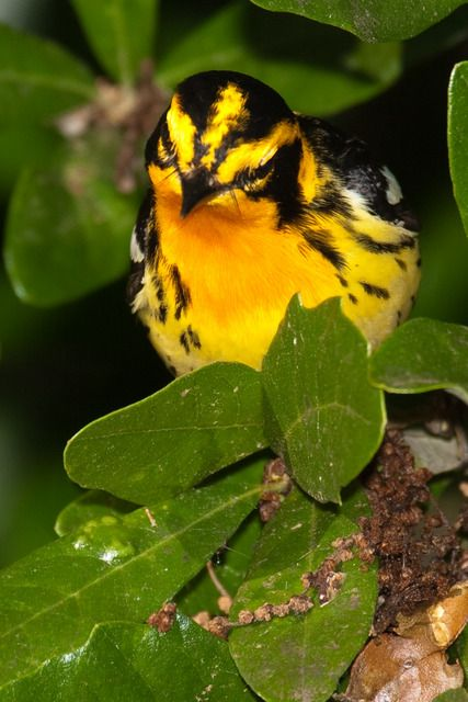 Foto mariquita-papo-de-fogo (Setophaga fusca) por Geraldo Hofmann | Wiki Aves - A Enciclopédia das Aves do Brasil