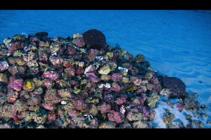 2016年、南米アマゾン川の河口付近で、サンゴを含む色鮮やかな生物礁が発見された。今 - Yahoo!ニュース(ナショナル ジオグラフィック日本版)