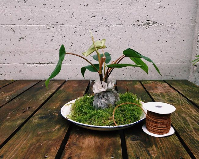 How to make a Kokedama String Garden - The third step is to bind the remay ball with sphagnum moss, using twine or fishing line.