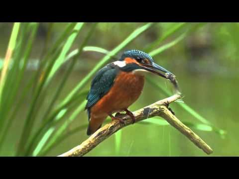"""▶ Common Kingfisher. Bird catching a fish. David Attenborough's opinion. - YouTube- a great companion lesson for """"Lizard Loses His Tail"""""""