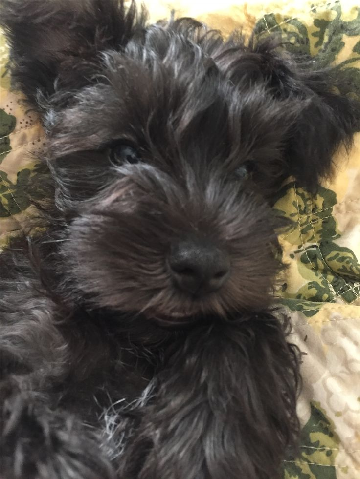 Cooper, black mini-schnauzer, age 9 weeks, looking for forever Listed through akcmarketplace 11/9/2016