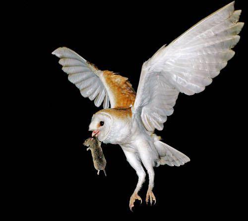 Owl Tyto alba As Pest Control Rat Effective and Environmentally Friendly. http://goo.gl/Wm8oc6