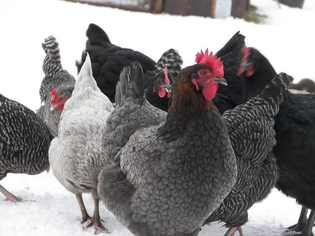 Cuckoo Marans. Dual purpose fowl known both for its extremely dark eggs as well as for its very fine meat qualities. Cuckoo, Golden Cuckoo, Black, Birchen, Black Copper, Wheaton, Black-tailed Buff, White and Columbian. Black Copper (black with copper feathers on the neck) and Cuckoo (barred feathers, giving a black and white speckled appearance.