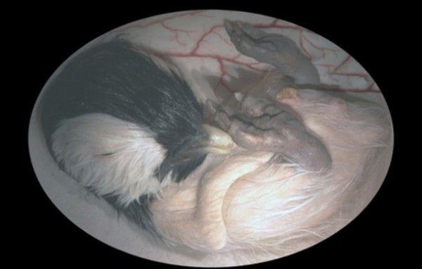 Fotos de animales antes de nacer  - Pingüino