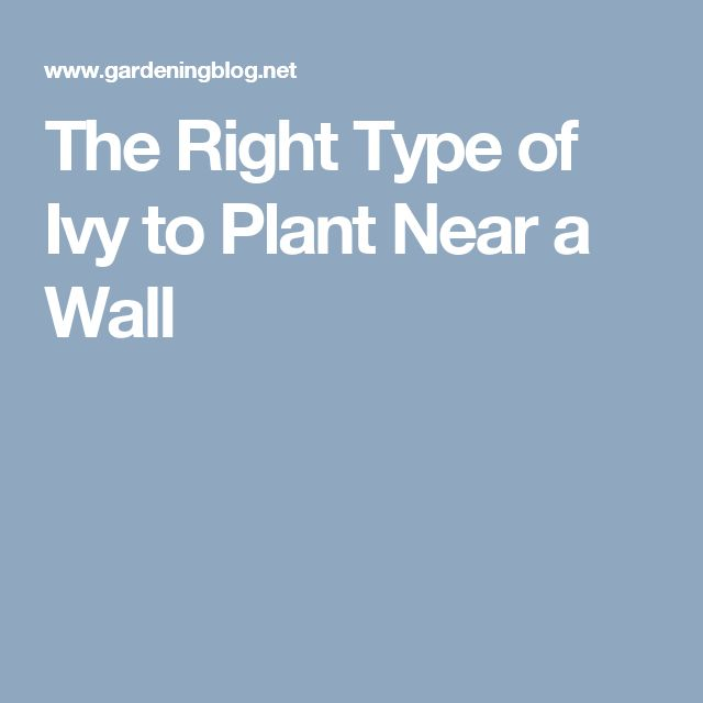 The Right Type of Ivy to Plant Near a Wall