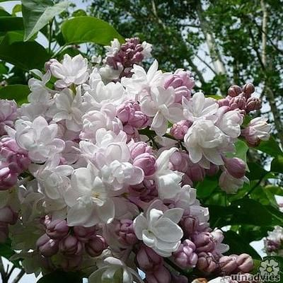 Syringa vulgaris 'Beauty of Moscow'