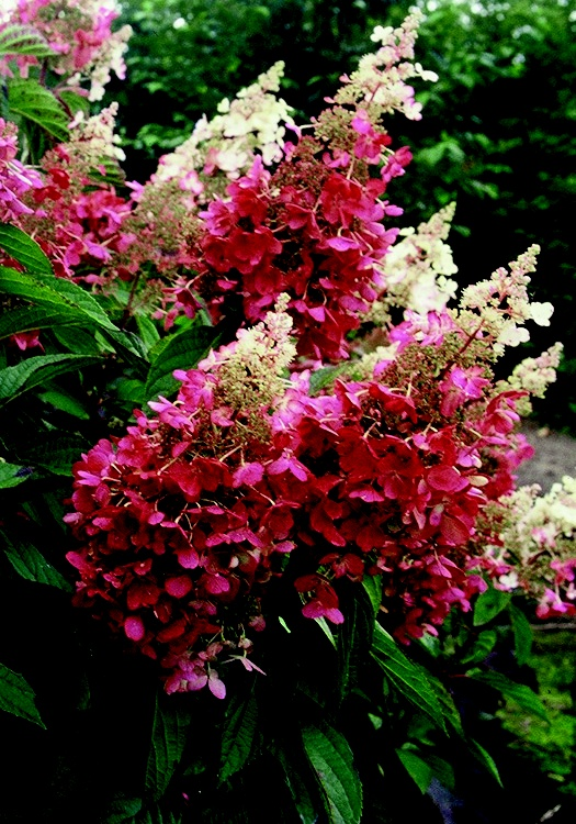 Hydrangea Pinky Winky - flower bed in front of the porch - side of the barn