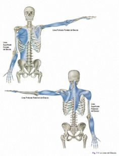 Myofascial Chain: Lines of the Arm