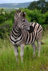 TWA-0026289 © WestPix Burchell's zebra in Hluhluwe-Imfoloze Park, South Africa.