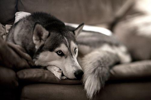 Siberian Husky, Pets, Blue Eye, Dogs Photos, Baby Girls, Husky Puppies, Husky Dogs, Beautiful Dogs, Animal