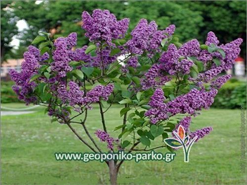 Θάμνοι Καλλωπιστικοί - Φυτά Κηποτεχνίας : Πασχαλιά μώβ   Syringa vulgaris