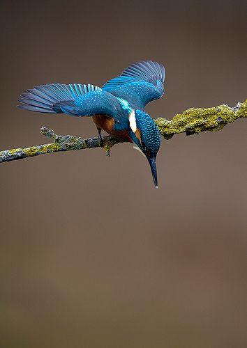 kingfisher (by Mark Hughes) ~ ready,,,set,,,,,,,di,,,,,,v,,e,,,,