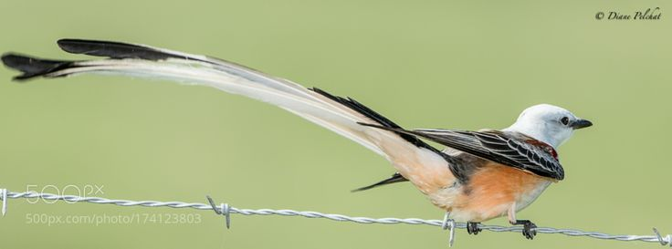 Scissor-tailed Flycatcher by dianepelchat via http://ift.tt/2dop3ck