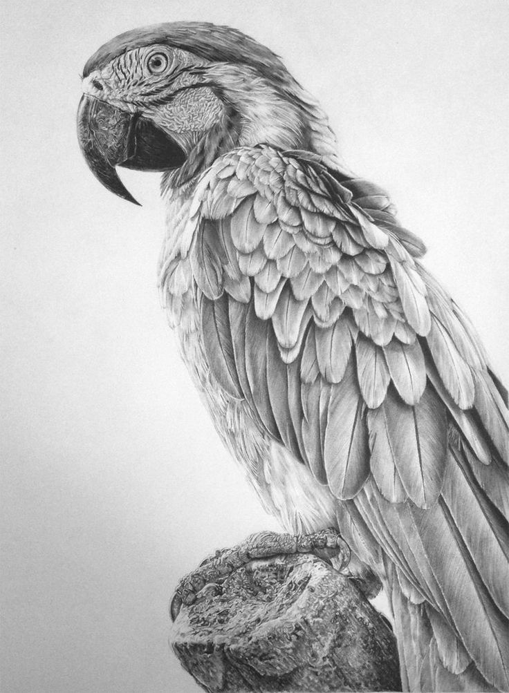Macaw by zephyrxavier on deviantART - pencil drawing