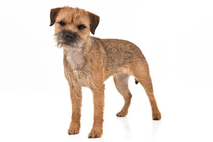 Border Terrier Dog Breed Information Dog Breeds Dog Breed