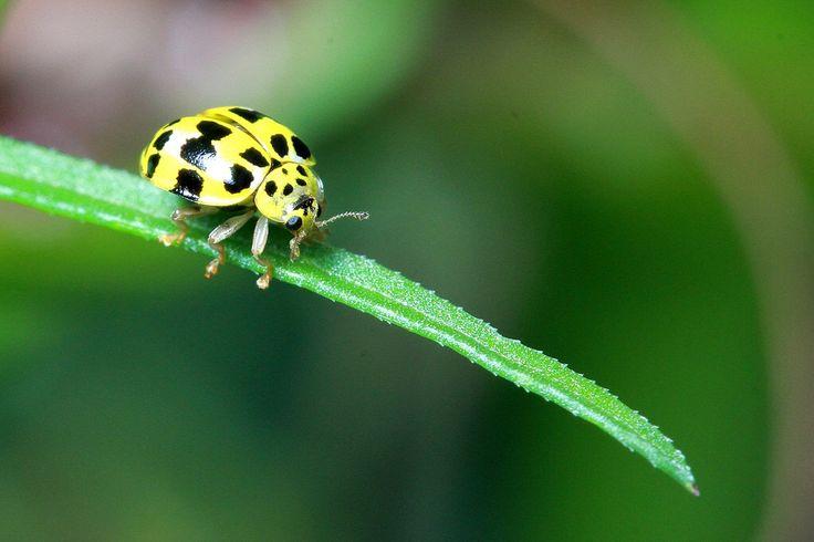 Yellow ladybug take off