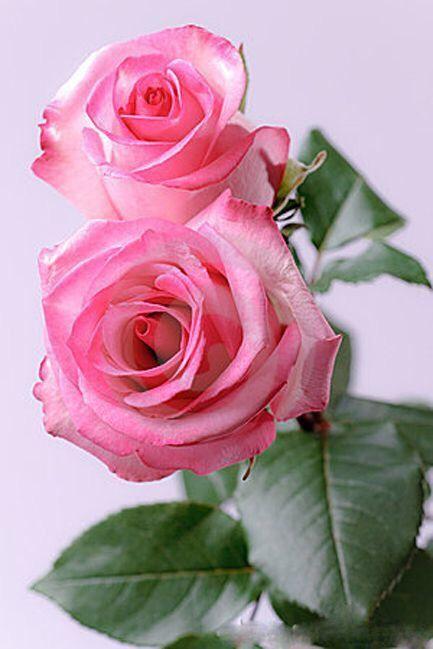 ✿⊱❥ Roses