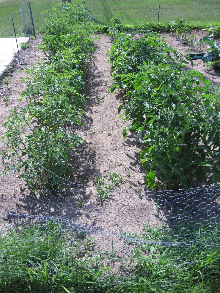 Pretty little maids all in a row! Tomatoes galore!