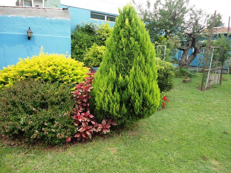Pino limón o Ciprés de Monterrey (Cupressus macrocarpa)