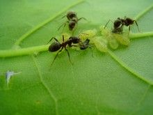 Anti fourmis efficace et bio: Tus Planta, Black Ants, Pesticid Free, Look After, Cornmeal For Ants, Planta Es,  Emmet, Ants Control,  Pismir