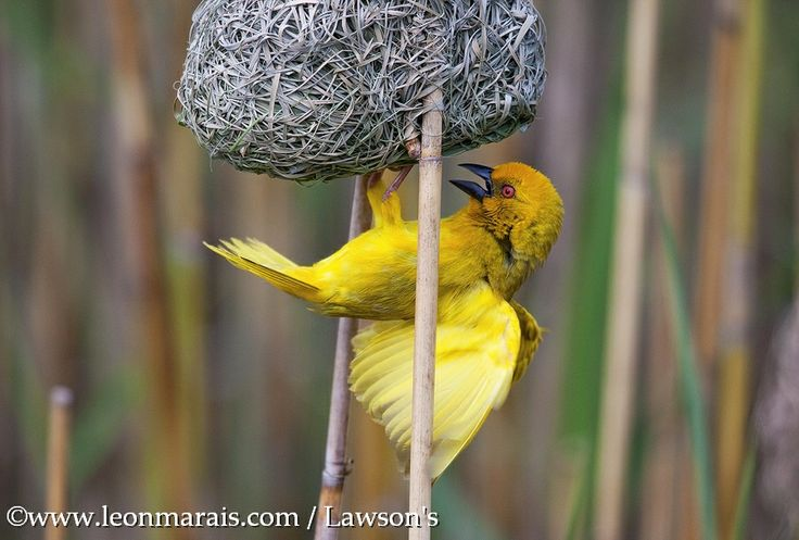 Eastern Golden Weaver, #StLucia #KZN on an awesome boat trip. #birding #photography