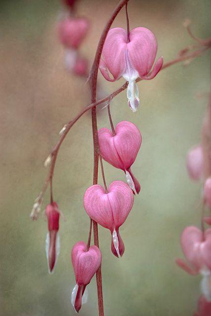 Pretty Pink Bleeding Hearts