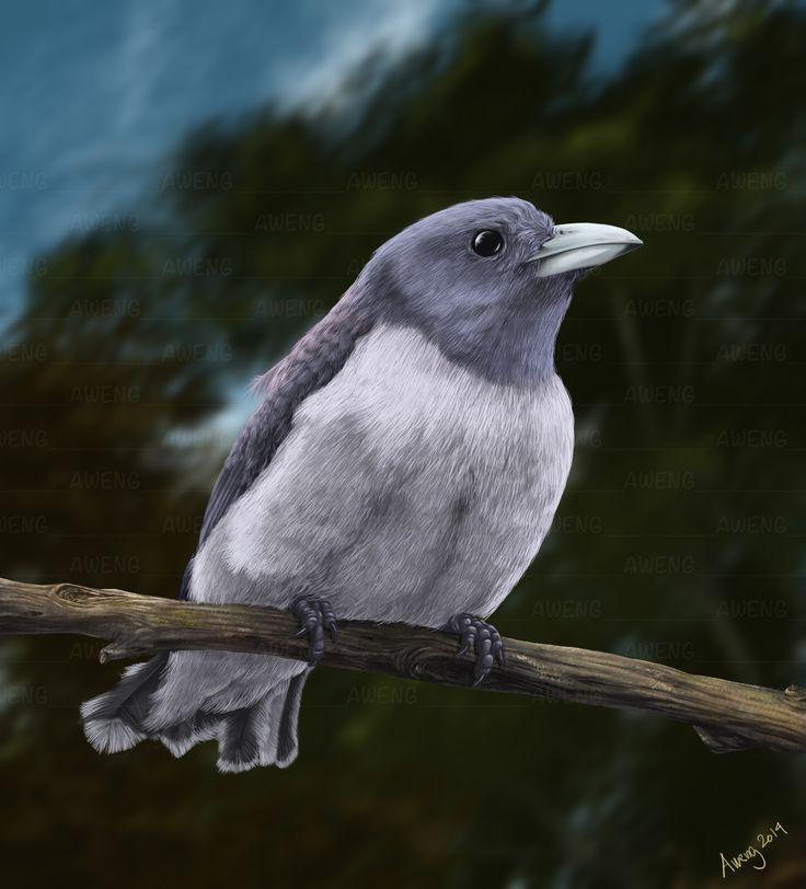 White-breasted Woodswallow  http://fineartamerica.com/profiles/irwan-iskak.html https://www.facebook.com/aweng8892