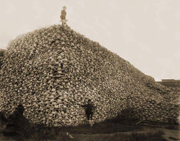 肥料用に集められたアメリカバイソンの頭蓋骨の山の上にたつ男性(1870年)このバイソンは、インディアン達の食料を無くす為にアメリカ政府と自警団が狩り尽くしたものだそうだ。